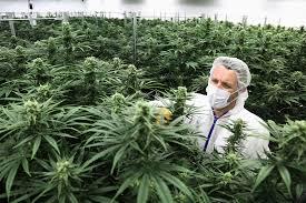 Kjøp Weed online